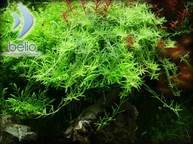 Rotala rotundifolia green (sadzonka) - Belio.pl